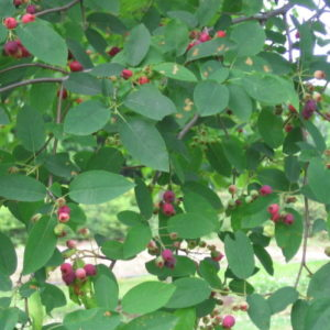 Vrtnartsvo Breskvar - Jagodičevje - Amelanchier Robin Hill