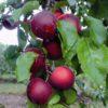 Vrtnarstvo Breskvar - Aprykyra