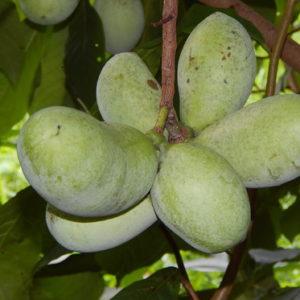 Vrtnarstvo Breskvar - Asimina triloba
