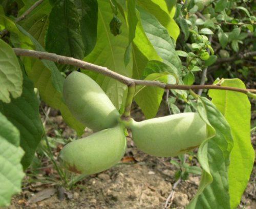 Asimina triloba ithaca vrtnarstvo breskvar d o o for Pianta di cocco