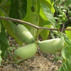 Vrtnarstvo Breskvar - Asimina Triloba Ithaca