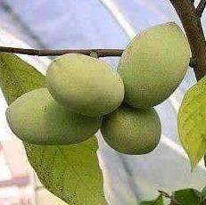 Vrtnarstvo Breskvar - Asimina Triloba Mango