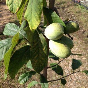 Vrtnarstvo Breskvar - Asimina Triloba NC1