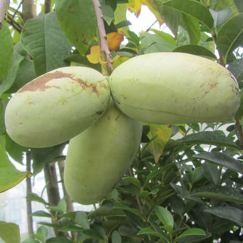 Vrtnarstvo Breskvar - Asimina Triloba Overleese