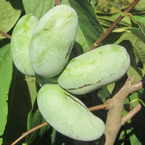 Vrtnarstvo Breskvar - Asimina Triloba Taytoo