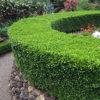 Vrtnartsvo Breskvar - živa meja Buxus Sempervirens