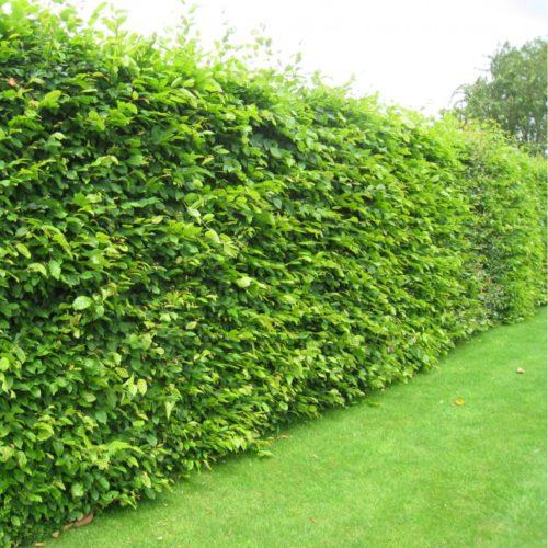 Vrtnartsvo Breskvar - živa meja Carpinus Betulus