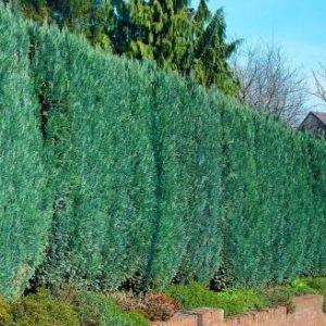 Vrtnartsvo Breskvar - živa meja Chamaecyparis