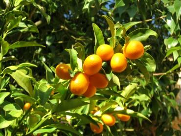 Vrtnarstvo Breskvar - Citrus japonica