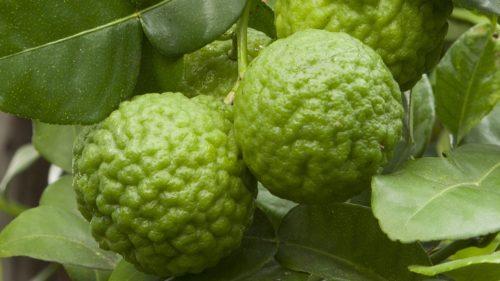 Vrtnarstvo Breskvar - Citrus hystrix Kaffir