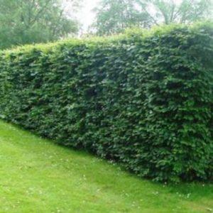 Vrtnartsvo Breskvar - živa meja Fagus Sylvatica