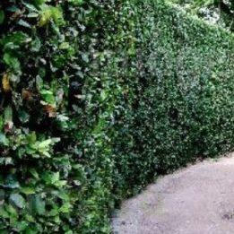 Vrtnartsvo Breskvar - živa meja Laurus Nobilis