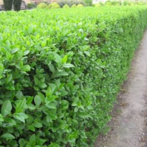 Vrtnartsvo Breskvar - živa meja Ligustrum Ovalifolium