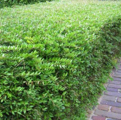 Vrtnartsvo Breskvar - živa meja Ligustrum Vulgare