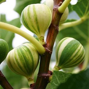Ficus carica Panache - Vrtnarstvo Breskvar