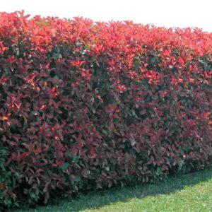 Vrtnartsvo Breskvar - živa meja Photinia red Robin
