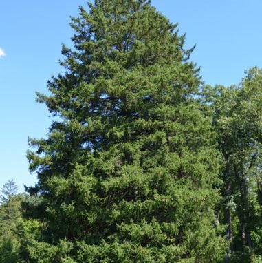 Vrtnartsvo Breskvar - živa meja Picea Abies