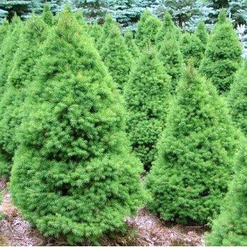 Vrtnartsvo Breskvar - živa meja Picea Glauca Conica