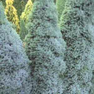 Vrtnartsvo Breskvar - živa meja Picea Picea Glauca Sander's Blue