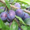 Vrtnarstvo Breskvar - Prunus Domestica Bosanka
