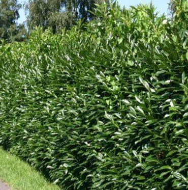 Vrtnartsvo Breskvar - živa meja Prunus Laurocerasus