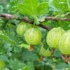 Vrtnarstvo Breskvar - Ribes Uva-Crispa Grossularia