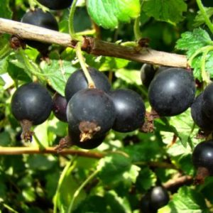 Vrtnarstvo Breskvar Ribes Nidigrolaria