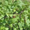 Ribes nigrum - Vrtnarstvo Breskvar