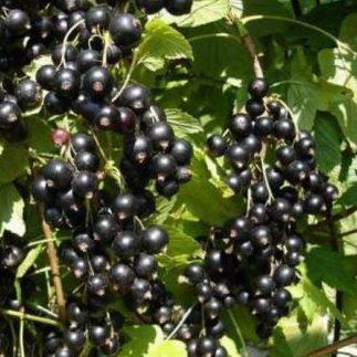 Vrtnarstvo Breskvar - Ribes Nigrum Big Ben