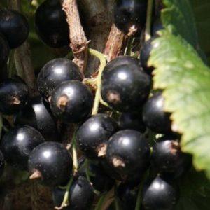 Vrtnarstvo Breskvar - Ribes Nigrum Dr. Bauer's Ometa