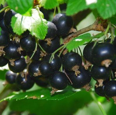 Vrtnarstvo Breskvar - Ribes Nigrum Kristin