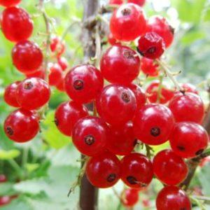 Vrtnarstvo Breskvar - Ribes Rubrum Rolan