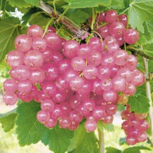 Vrtnarstvo Breskvar - Ribes Rubrum Rosalinn