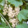 Vrtnartsvo Breskvar - Jagodičevje - Ribes Rubrum Wesse Versailler