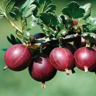 Vrtnarstvo Breskvar - Ribes Uva-Crispa Dr. Bauer's Rokula