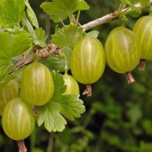 Vrtnarstvo Breskvar Ribes Uva-Crispa Invicta
