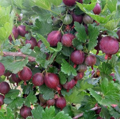 Vrtnarstvo Breskvar Ribes Uva-Crispa Rania