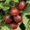 Vrtnarstvo Breskvar - Ribes Uva-Crispa Rote Eva