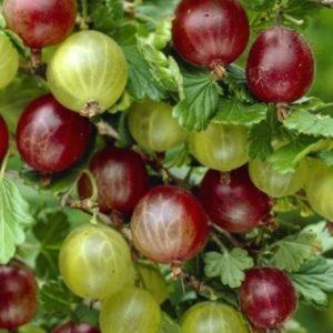 Vrtnarstvo Breskvar - Ribes Uva-Crispa Whinhams Industry