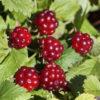 Vrtnarstvo Breskvar - Rubus Arcticus Beata