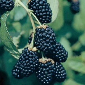 Vrtnarstvo Breskvar - Rubus Fruticosus Chester