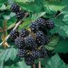 Vrtnarstvo Breskvar - Rubus Fruticosus