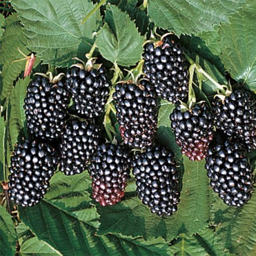 Vrtnartsvo Breskvar - Rubus Fruticosus Jumbo