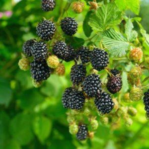 Vrtnarstvo Breskvar - Rubus Fruticosus Navaho