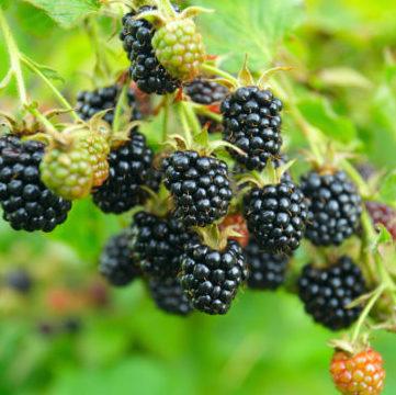 Vrtnarstvo Breskvar - Rubus Fruticosus Scotty Loch Tay