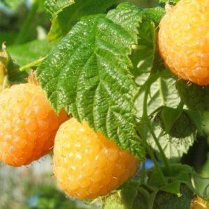 Vrtnarstvo Breskvar - Rubus Idaeus Alpengold
