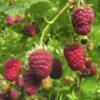 Vrtnarstvo Breskvar - Rubus Idaeus Blissy