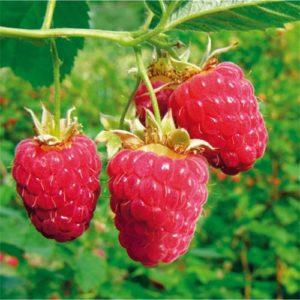 Vrtnarstvo Breskvar - Rubus Idaeus Glen Ample