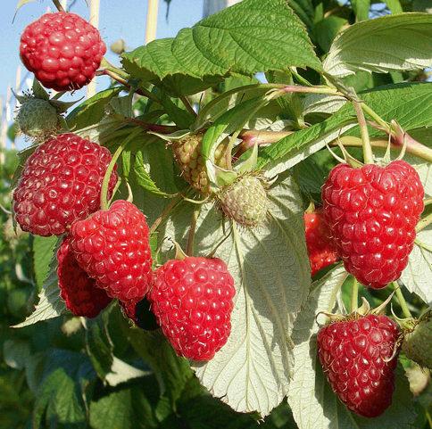 Vrtnarstvo Breskvar - Rubus Idaeus Rubyfall