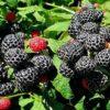 Vrtnarstvo Breskvar - Rubus Occidentalis Black Jewel
